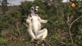 Madagaskar - Maki's