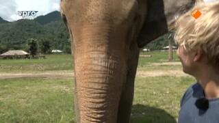 Wilde olifanten in Thailand