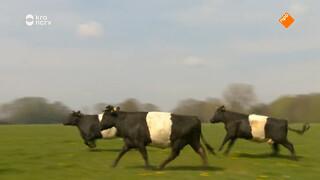 De koeien gaan los!