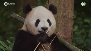 Panda Crackers #4