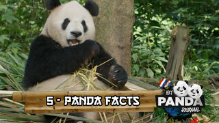#5 Panda Facts | Pandajournaal