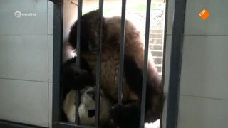 Het Pandajournaal - Het Pandajournaal