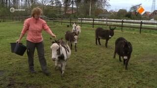 Mini-ezels op Texel