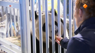 Warm onthaal voor Chinese Panda's