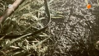 Snuf, de hond Snuf en de jacht op Vliegende Volckert