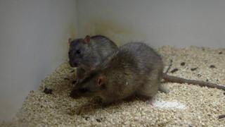 Ratten en antidepressiva