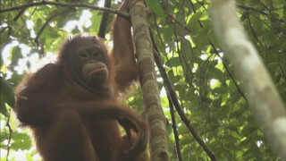 Het Klokhuis Orang-Oetan leefgebied