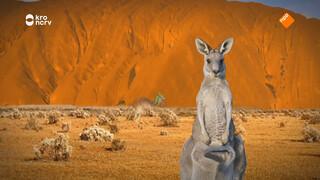 Poept een baby kangoeroe in de buidel van zijn moeder?