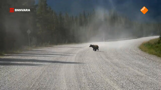 Evi ziet letterlijk beren op de weg in Canada