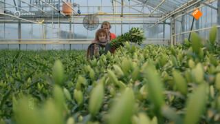 Verbijstering in Aalsmeer: kleine kwekers alsnog de klos