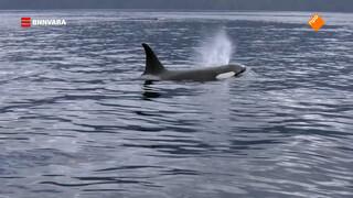 Evi spot wilde orka's per kajak!