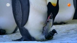 Het verhaal van een pinguïnkuiken