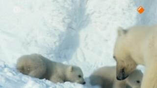 Snow Bears Snow Bears