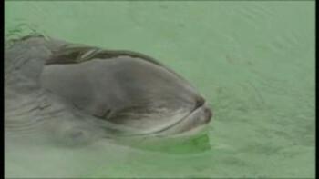 De bruinvis