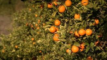 Sinaasappels op Sicilië