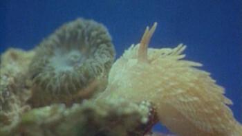 Zeenaaktslak eet zeeanemoon
