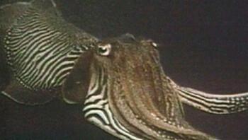 Zeekatten zijn inktvissen