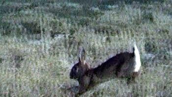 Havik jaagt op konijn