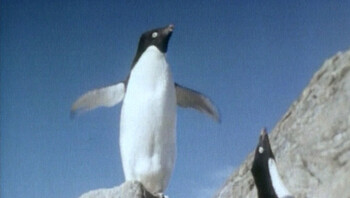 Voortplanting van pinguïns