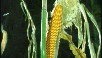 Hoe groeit maïs?