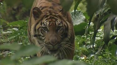 Het leefgebied van de tijger