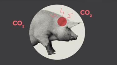 Hoe worden varkens geslacht?