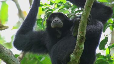De gibbon