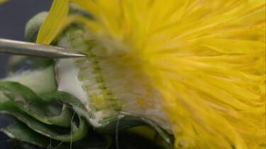 Hoe veranderen paardenbloemen in pluizenbollen?
