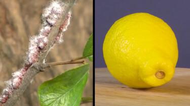 Wat is schellak?: Een glanzend laagje op je citroen en chocopinda