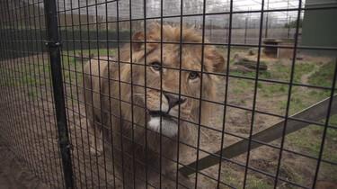Waarom is een leeuw geen huisdier?: Leeuwen zijn jagers