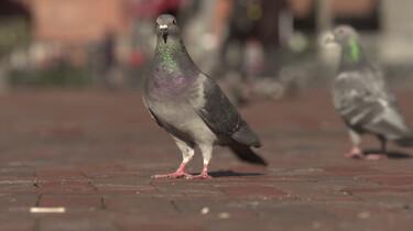 Hoe hebben dieren in de stad zich aangepast?: Evolutie in de stad