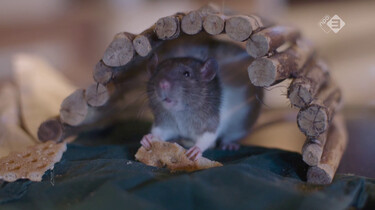 EenVandaag in de klas : De rat: lastpak of overlevingskampioen?