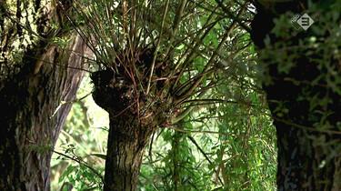 Vroege Vogels in de klas : Wilgen in de Biesbosch