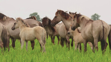 Konikpaarden in Nationaal Park Nieuw Land: Wilde paarden in de Oostvaardersplassen