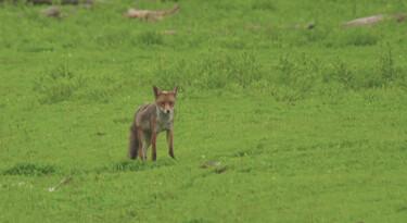 Vossen in Nationaal Park Nieuw Land: Een vossenburcht op de grasvlakte