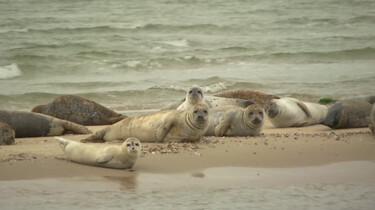 Zeehonden in het Waddengebied: Grijze en gewone zeehonden op de zandplaat