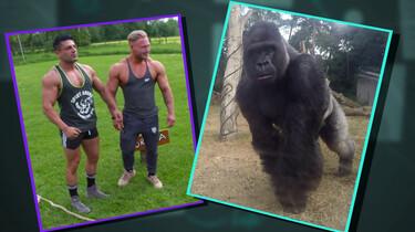 Hoe sterk is een gorilla?
