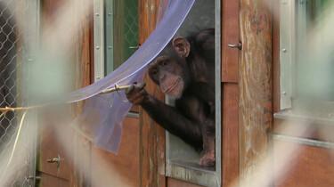 Waarom is een aap geen huisdier?
