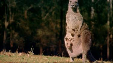 Wat is er bijzonder aan de kangoeroe?