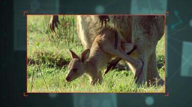 Hoe wordt een kangoeroe geboren?