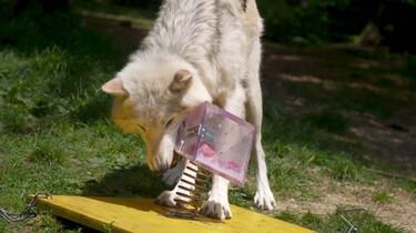 Wat is het verschil tussen honden en wolven?