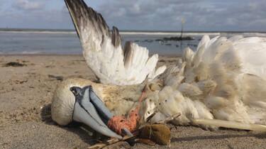 Gaan zeedieren dood door plastic?: Ons plastic in de maag van vogels