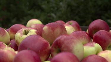 Hoe komen appels in de winkel?: Oogsten, koelen, sorteren