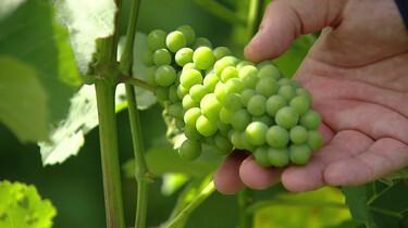 Moderne wijnbouw in Limburg
