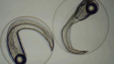 Hoe kweek je paling?: De oplossing voor de dalende palingstand?