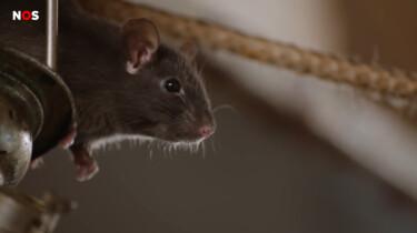 Hoe groot is het rattenprobleem in Nederland?