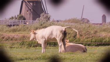 Waar komt schadelijke stikstof vandaan?: Koeien, auto's en vliegtuigen