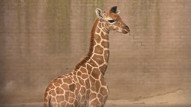 EenVandaag in de klas: Babydieren in de dierentuin