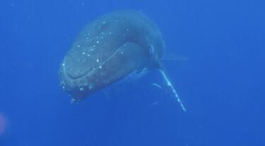 Je kan aan zijn oorsmeer zien hoe oud een walvis is