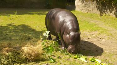 De poep van een dwergnijlpaard